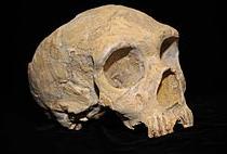 Gibraltar1 Nederthal Adult skull